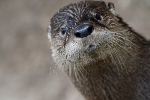 A close-up photo of a river otter with slick, wet fur, long whiskers, a rounded nose and small, round ears