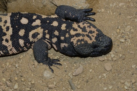 A large lizard, called a Gila monster, with scaly skin patterned with stripes and spots, a large head, and short limbs with long, thin digits