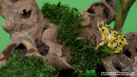 A Panamanian golden frog standing on a mossy log