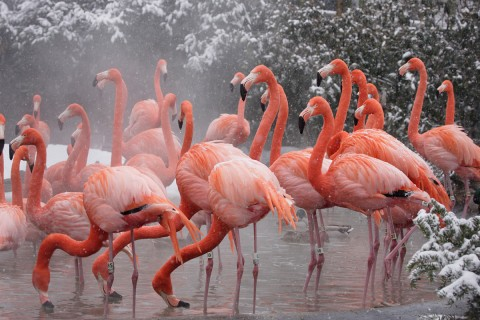 A group of pink flamingos with stem-like legs and long, curved necks stands in a pond in the winter. Snow can be seen on the surrounding trees and there is steam coming off the warm water.