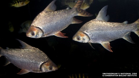 A group of three silvery flagtail characin fish swimming in dark water
