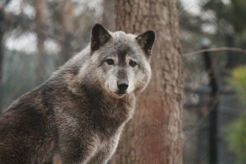 A gray wolf with thick, gray fur, pointed ears and dark eyes standing in front of a tree and looking toward the camera
