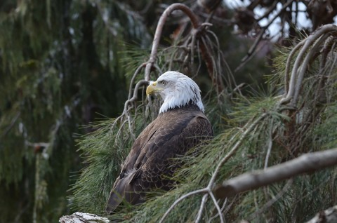 A bald eagle with light feathers on its head and dark feathers on its body, a sharp, curved bill and small eyes is perched in a pine tree