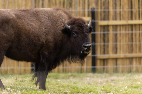 An American bison with thick fur, a broad shoulder hump, a large head and short, curved horns an