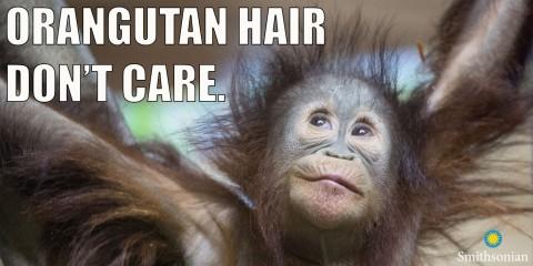 """A meme of an infant orangutan with wild hair and the text """"Orangutan hair don't care."""""""