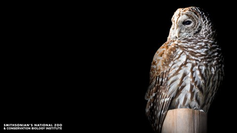 A barred owl, with a large body and wings, a flat beak and wide eyes, perched on top of a post against a dark background