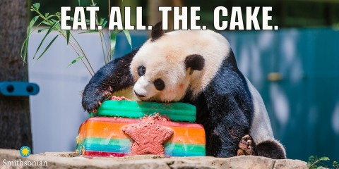 """A meme of a giant panda eating a colorful ice cake with the text """"Eat. All. The. Cake."""""""