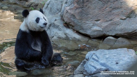A giant panda sits in a shallow pool of water alongside large rocks