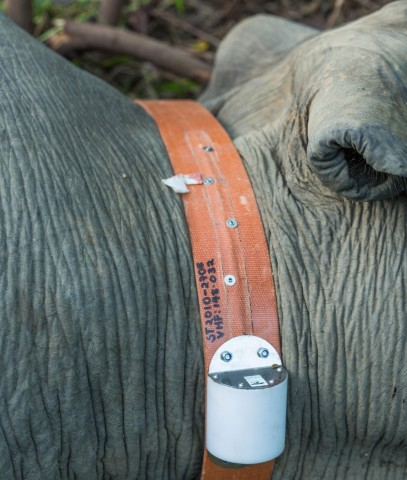 A close-up of a GPS collar on an Asian elephant in Myanmar