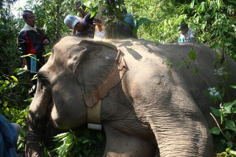 Scientists fit a wild Asian elephant in Myanmar with a GPS tracking collar