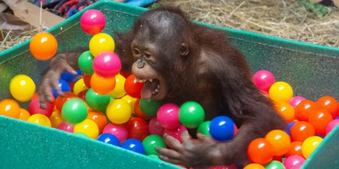 Infant orangutan Redd sits in a bucket filled with colorful plastic ball and uses his long limbs to toss them around