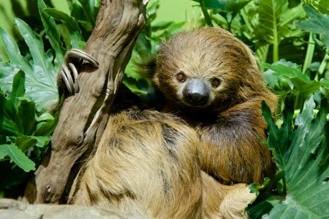 Why are Sloths So Slow? And Other Sloth Facts