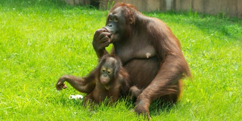 Bornean orangutans Batang and Redd share a treat at Think Tank.