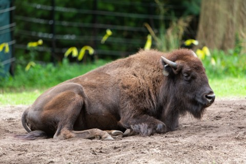American bison Lucy