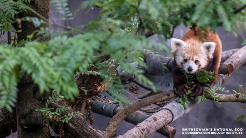 A red panda with thick fur, a wide tail and pointed ears walks along a tree branch