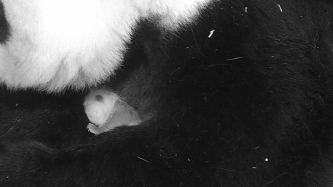 Giant panda Mei Xiang holds her small cub in her arms. The cub has small visible claws and has started to get its black and white markings