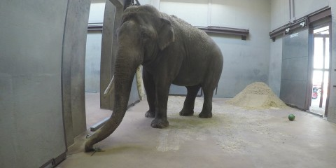 A male Asian elephant with tusks stands in a brightly lit barn at the Smithsonian's National Zoo
