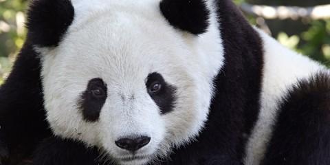 adopt a giant panda smithsonian s national zoo