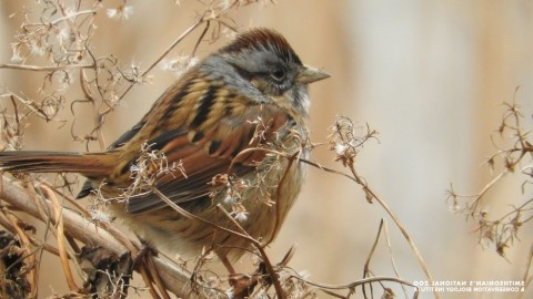 A small bird, called a swamp sparrow, with fluffed up feathers perched on a dry branch