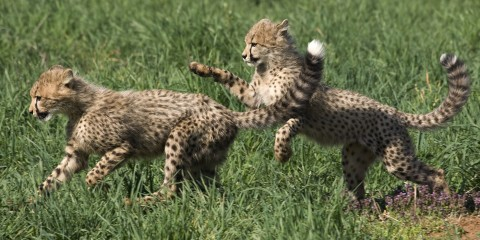 Two young cheetah cubs running and pouncing in green grass