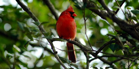 A bright red bird, called a northern cardinal, perched in a tree with green leaves