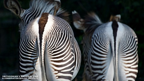 The backsides of two zebras with striped fur and long tails