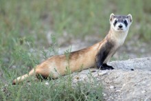 a black footed ferret sits on a rock