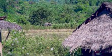 An Asian elephant with large tusks walks near huts in Myanmar