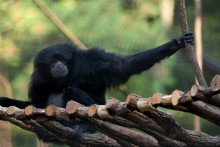 A gibbon (siamang) named Ronnie with black fur and long arms sits on a small wooden bridge made of branches, with its arm outstretched and grasping a branch
