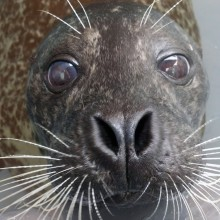 Harbor seal Luke at the American Trail exhibit.