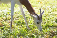 A dama gazelle with long legs, a slender neck and short, curved horns grazes in a grassy yard on a sunny day