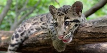 A clouded leopard cub with large paws, rounded ears, a pink nose and tongue, wiry whiskers, and thick, spotted fur rests on a tree branch