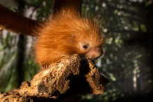 Prehensile-tailed porcupette