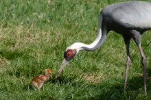 A white-naped crane chick hatched April 2, 2020. She is pictured with her mother, Brenda.