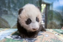 A young giant panda cub with black-and-white fur, small claws and round ears stands on a table inside the panda habitat during a routine exam.