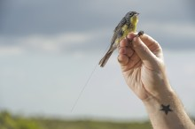State-of-the-art tracking technology reveals previously unknown long-distance movements of Kirtland's warblers during the mating season that have important conservation implications for North American birds.
