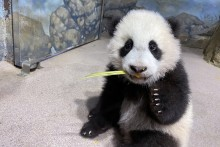 Giant panda cub Xiao Qi Ji sits in his indoor habitat and tastes cooked sweet potato.