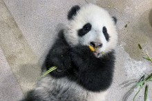 Giant panda cub Xiao Qi Ji lays on his back and tastes his first cooked sweet potato.