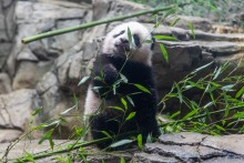 Giant panda cub Xiao Qi Ji stands on rockwork in his habitat and tastes the leaves on a piece of bamboo.