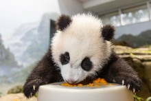 Giant panda cub licks sweet potato off of a large, cylindrical enrichment toy.