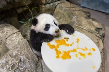 "Giant panda cub Xiao Qi Ji sits on rockwork and holds onto a large, round ""plate"" covered in cooked sweet potato"