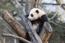 Giant panda cub Xiao Qi Ji climbs on a structure made of criss-crossed logs in his outdoor yard
