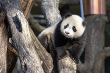 Giant panda cub Xiao Qi Ji climbs on a structure made of crisscrossed logs in his outdoor yard