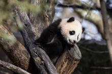 Giant panda cub Xiao Qi Ji climbs outdoors on a structure made of crisscrossed logs and looks out over his yard