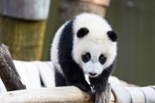 Giant panda cub Xiao Qi Ji walks across a hammock made of recycled firehose