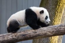 Giant panda cub Xiao Qi Ji walks across a log in his outdoor yard