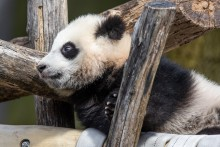 Giant panda cub Xiao Qi Ji rests in a hammock made of recycled firehose and leans against criss-crossed logs