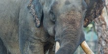 A close-up photo of an Asian elephant with big ears, a long trunk and large tusks in Myanmar