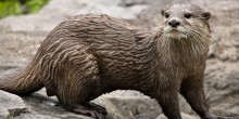 An Asian small-clawed otter walking on rocks. It's a weasel-like animal with small ears, whiskers, short lets, sleek, coarse, wet fur, and a long, thick tail.