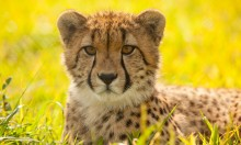 A cheetah laying in the grass on a sunny day